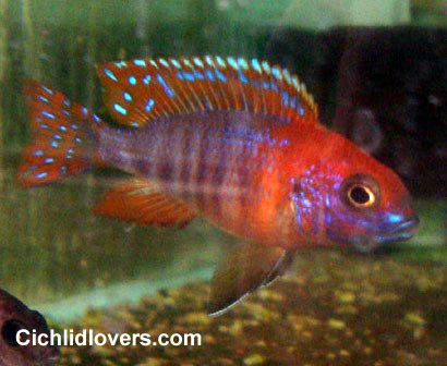 Aulonocara sp. &quot-Firefish Dragon Blood&quot- | Peacock Cichilds ...