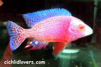 Aulonocara Sp Firefish Albino