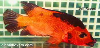 Amphilophus labiatus true wild strain of the red devil for Red devil fish for sale