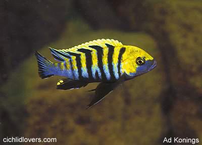 Le top 3 de vos poissons preferé C-afra-cobue