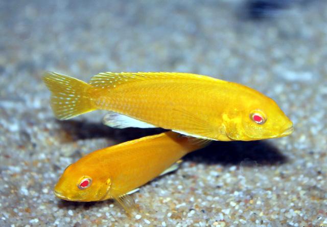 "Labidochromis caeruleus ""Albino Electric Yellow""  Labidochromis c..."