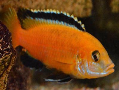 Labidochromis caeruleus Ruarwe Yellow-Orange