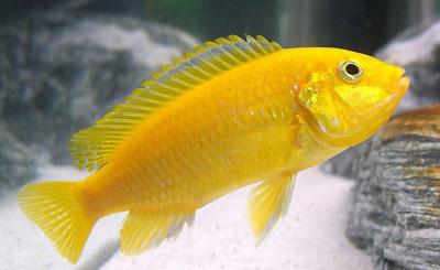 "Labidochromis caeruleus ""Brilliant Yellow""  Labidochromis c..."