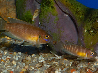 Neolamprologus Brevis Sell-Dwellers in a 29g...