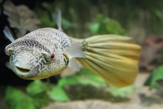 Tetraodon mbu giant freshwater puffer for Mbu puffer fish